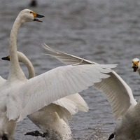 Swans more aggressive to own kind than to other birds, study suggests