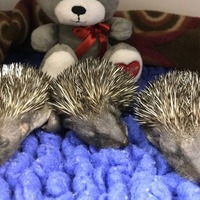 Orphaned baby hedgehogs returned to the wild after two months with RSPCA