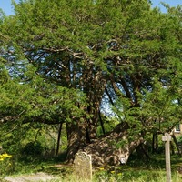 Tree of the Year shortlist unveiled for public vote