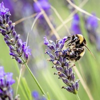 The Casual Gardener: Lovely lavender creates a big buzz