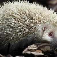 Rare albino hedgehog recovering after rescue