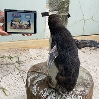 Solo penguin watches Pingu on iPad to stave off loneliness