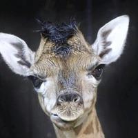 Belfast Zoo welcomes new baby giraffe called `Ballyclare'