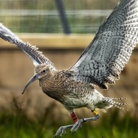 Rescued curlew chicks released back into the wild
