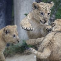 Three rare Barbary lion cubs born at zoo venture outside to play
