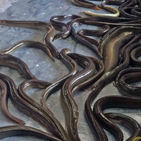Lough Neagh eels could be recognised in Japan after trade deal