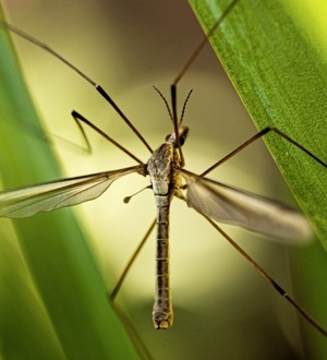 Stephen Colton's Take on Nature: Daddy long-legs dancing in the flickering light
