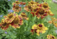 The Casual Gardener: A heads-up for heleniums