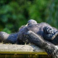 In Pictures: Gorillas enjoy the September sunshine at Bristol Zoo