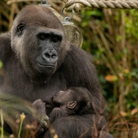 Four-week-old gorilla thriving after being born at Bristol Zoo