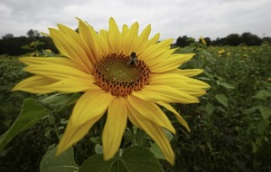 The Casual Gardener: Something special about sunflowers