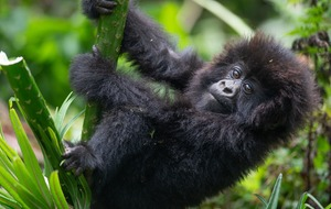 Mountain gorillas born in Rwanda being named in annual ceremony