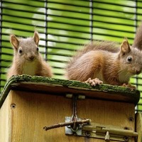 Red squirrels to be released in counties Antrim and Down in bid to boost dramatic decline