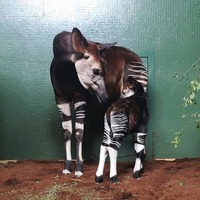 Okapi gives birth to a 'feisty young calf' at London Zoo