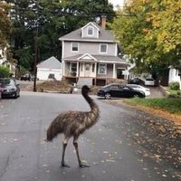 Police successfully capture escaped emu by enticing it with pear