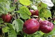 The Casual Gardener: Irish apples weather dual storms of high winds and late frost