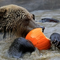 In Pictures: Bear cubs tuck into pumpkin treats