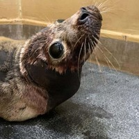 Makeshift sauna created at RSPCA centre to help seals with breathing problems