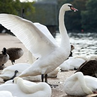 Florida city auctions off 36 swans after Queen's gift leads to overpopulation