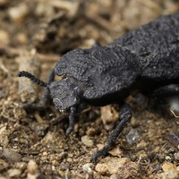 Scientists discover design secrets of nearly indestructible beetle