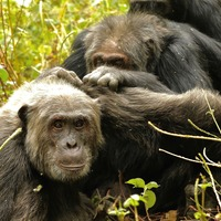 Chimpanzees prefer to focus on fewer friends as they age, study suggests