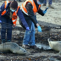 Rehabilitated seals returned to the wild in rare triple release