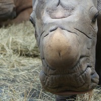 White rhino born at Disney World