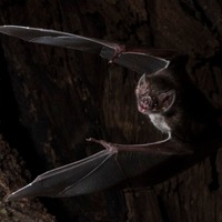 Vampire bats socially distance when they are sick, study suggests