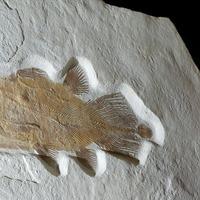 Undersea treasure: 200-million-year-old 'Lazarus' fish up for auction