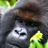 Mountain gorillas 'mirror' humans by being friendlier to old friends – study