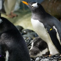 Gentoo penguins should be reclassified as four different species, scientists say