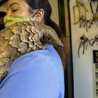 Pangolin patrol: Volunteer team rescues endangered animals