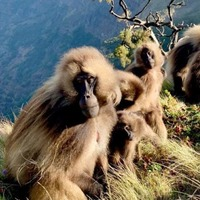 Female geladas hurry up and mature when new male joins the group – study