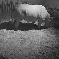 Rare black rhino born at zoo on dad's birthday