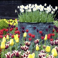 The Casual Gardener: Bring some certainty to your yearly tulip display