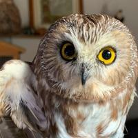 Owl rescued from New York Christmas tree could take flight soon