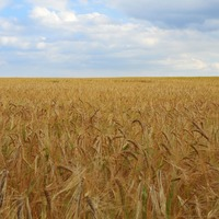 New research will have implications for global wheat production – experts