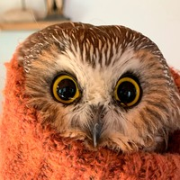 Owl rescued from New York Christmas tree returns to the wild