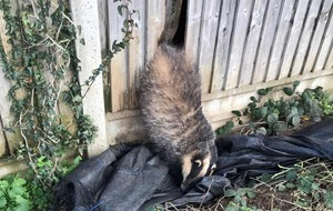 Badger who got bum wedged in fence rescued by RSPCA