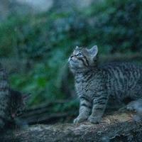 Two wildcats born at Edinburgh Zoo