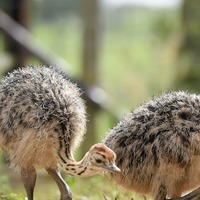 '40 bird families with flightless species existed before human-led extinctions'
