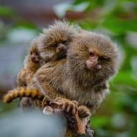 Monkeys 'no bigger than ping pong balls' born at Chester Zoo