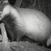 Rural initiative aimed at protecting badgers to be continued for another year after being hailed a success
