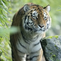 Police seek murder accused after his tiger found wandering in Houston