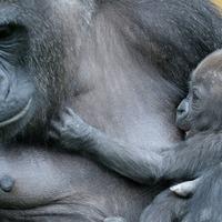 Baby gorilla born at Bristol Zoo Gardens