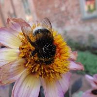 Big bumblebees 'learn spots of best flowers'