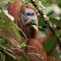 World's most threatened ape species 'in more trouble than previously thought'