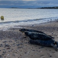 Seal pups released on Gower beach at sunrise after months of rehabilitation