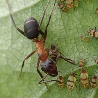 Rare ant rescued from brink of extinction with help of DIY conservation tools