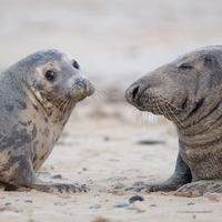 More than 2,000 grey seal pups born in Norfolk as police deter visitors